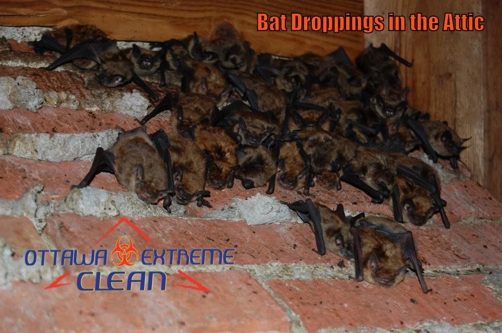 Bat feces removal Kitchener-Waterloo